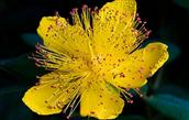 HYPERICUM as a Homeopathic Remedy (Hypericum perfoliatum)