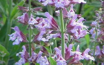 Salvia scalerea and Lavender: Effects on Blood Pressure?
