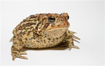 Homeopathic Nux Vomica 200c works - and live, rather drunk toads prove it!