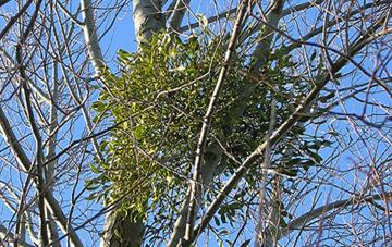Can Viscum album (Mistletoe) Homeopathic Medicine Reduce Blood Pressure?