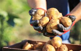 Potatoes contain high quality protein good for women's muscle