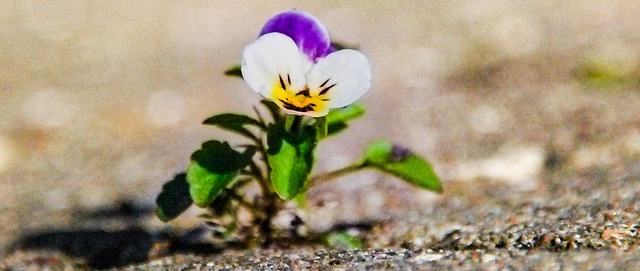 Pansy - resilience and positive psychology
